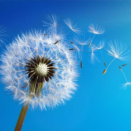 Löwenzahn Samen werden durch den Wind davongetragen